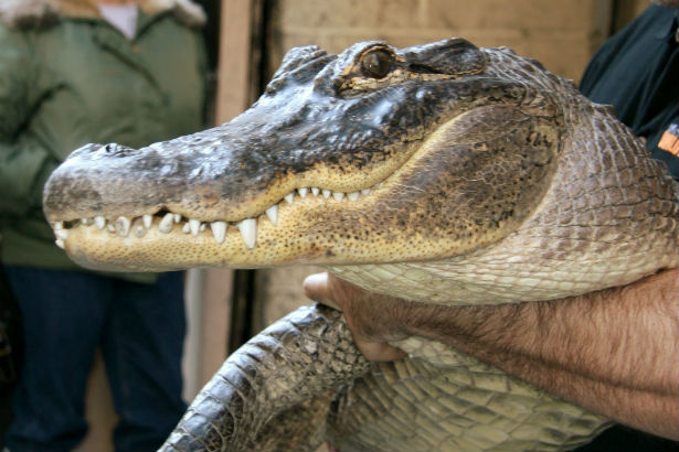 Alligator Hermes